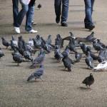 Od holubů raději dál
