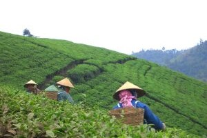Čajovna – zelený čaj