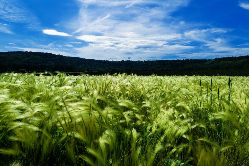 barley-871994_1920